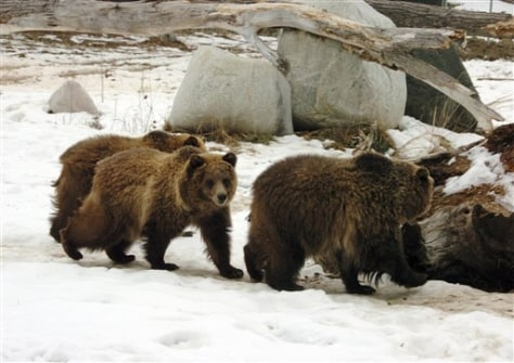 Image: Grizzly bears