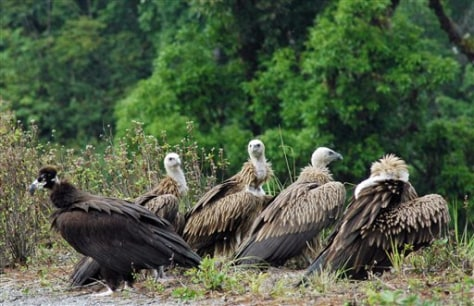 IMAGE: THREATENED VULTURE