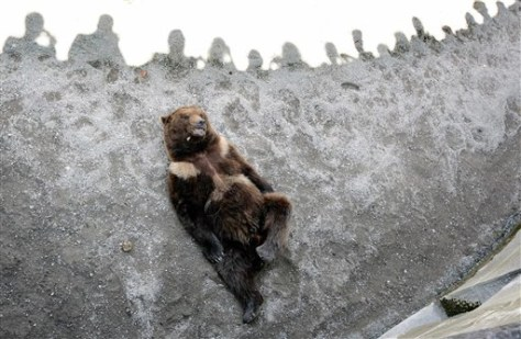Image: Switzerland's last bear
