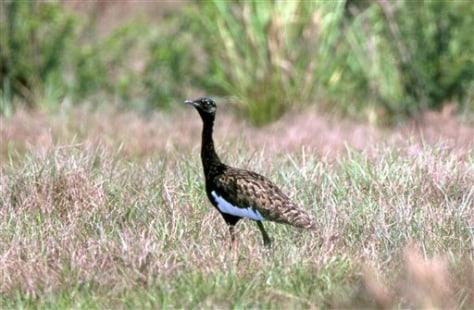 IMAGE: BENGAL FLORICAN BIRD