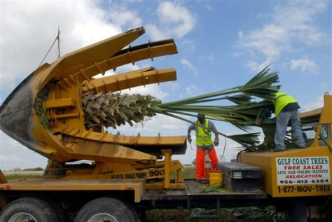 Image: Workers tie up the fronds of a Sabal Palm