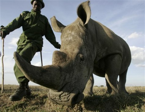 Image: Park ranger walks with rhino