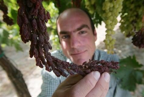 Raisin drying on vine