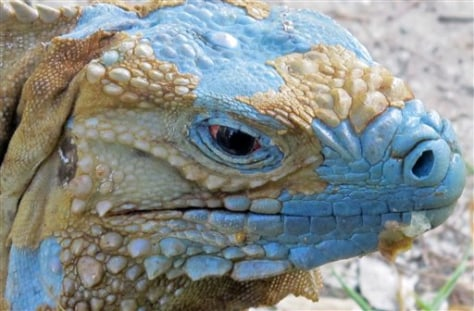 "Image: An adult Grand Cayman Blue Iguana nicknamed ""Biter"""