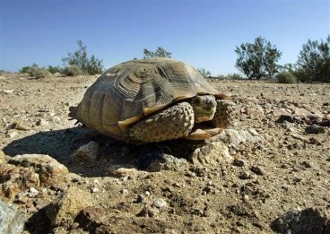 Image: Endangered desert tortoise