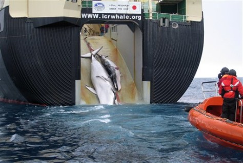 Image: Dead whale and her calf pulled aboard whaling ship