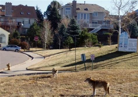 Image: Coyotes in a neighborhood