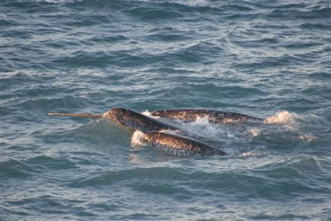 IMAGE: Narwhals