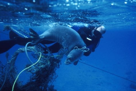 Image: Entangled monk seal