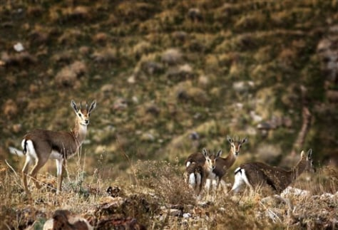 Image: Gazelles in West Bank