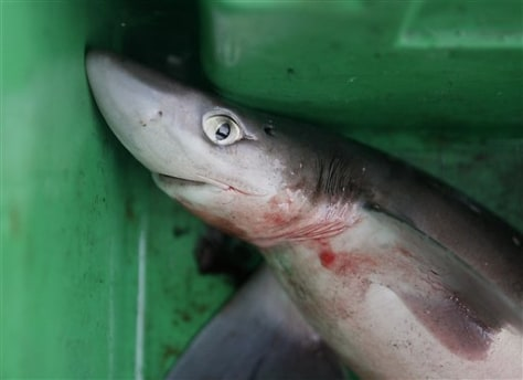 Image: A dogfish lies in a bin