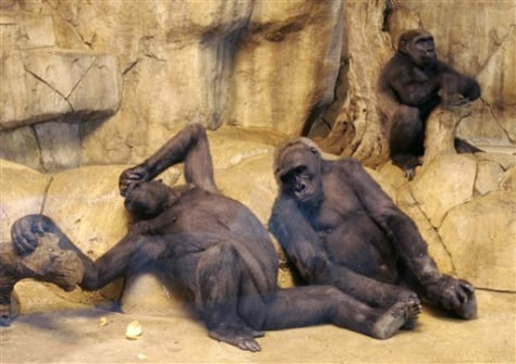 IMAGE: GORILLAS IN ZOO