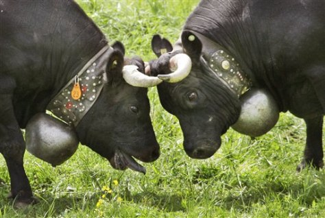 Image: Swiss fighting cows