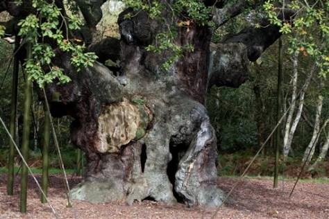 IMAGE: 'MAJOR OAK' IN SHERWOOD FOREST