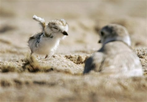 IMAGE: Piping plover chick and parent