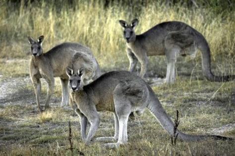 IMAGE:Kangaroos