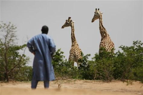 Image: Giraffes in Niger