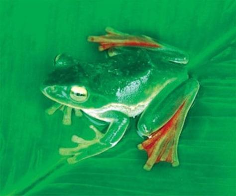 Image: Rhacophorus suffry