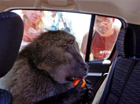Image: Baboon nicknamed Fred eats fruit inside car