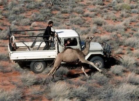 Image: Camel in Australia