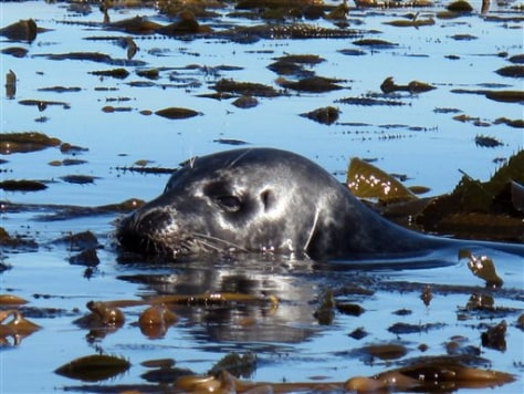 Image: Harbor seal in Monterey Bay sanctuary