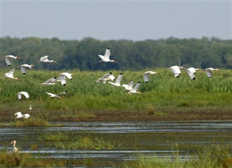 IMAGE: FLOCK OF IBIS IN EVERGLADES