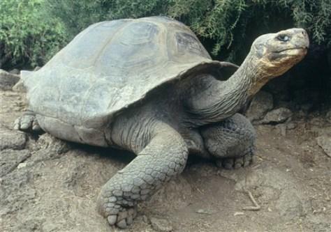 IMAGE: GIANT TURTLE ON GALAPAGOS