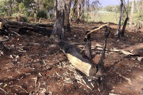 Image: Cut trees in Mau Forest