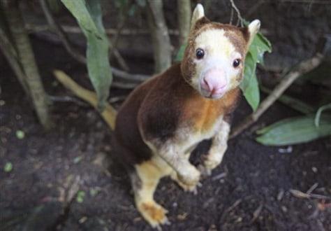 Image: Matschie's tree kangaroo