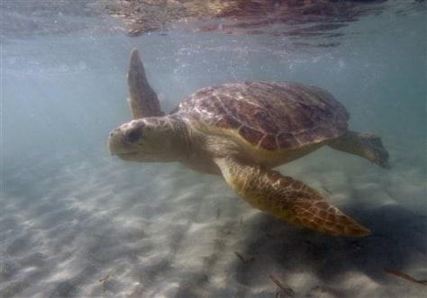 IMAGE: Loggerhead Turtle