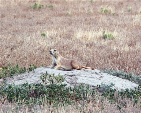 Image: Prairie dog