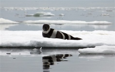 IMAGE: Ribbon Seal
