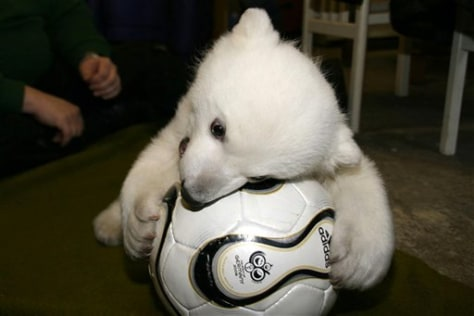 IMAGE: POLAR BEAR CUB PLAYS WITH SOCCER BALL