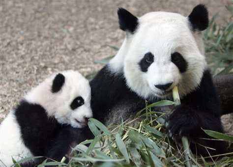 Image: Panda mother Lun Lun with cub Mei Lan