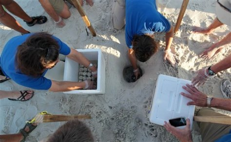 Image: Crews harvest turtle eggs from the sand