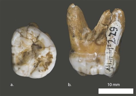 Image: Upper molar tooth found in Siberian cave