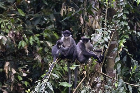 Image: Miller's Grizzled Langurs