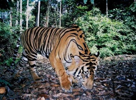 IMAGE: SUMATRAN TIGER IN WILD