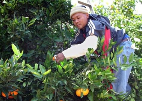 Image: Alegal migrant picks oranges