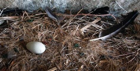 Image: Condor egg