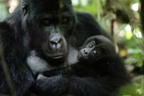 Congo Gorillas Killed