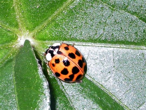British ladybug