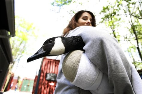 Image: Kristi Ward carries a Canada goose