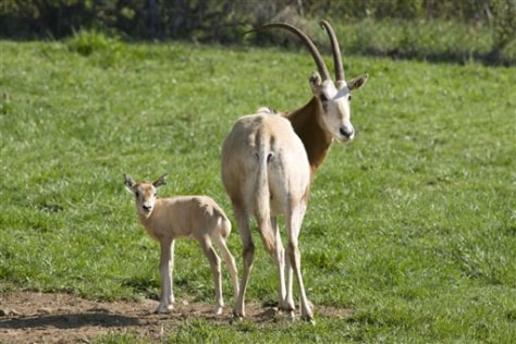 Image: Mother oryx with calf