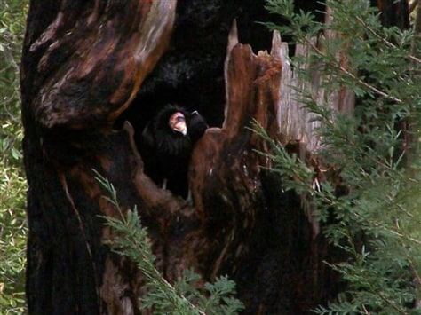 IMAGE: CONDOR IN TREE CAVITY