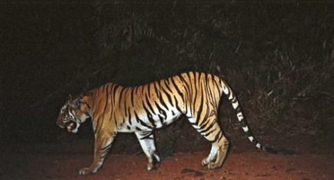 IMAGE: TIGER IN CAMBODIA