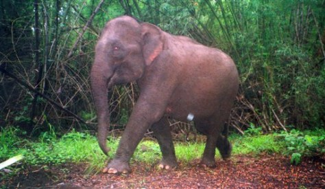IMAGE: ELEPHANT IN CAMBODIA