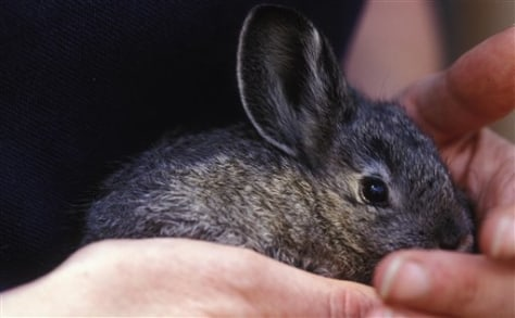 ENDANGERED RABBIT