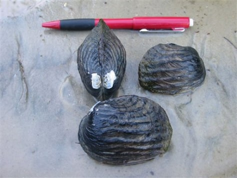 IMAGE: ENDANGERED MUSSELS