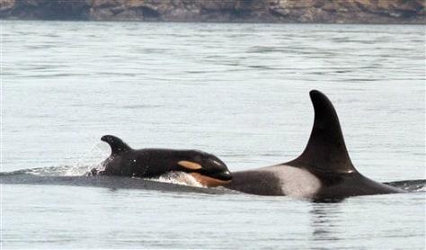 ORCAS HABITAT